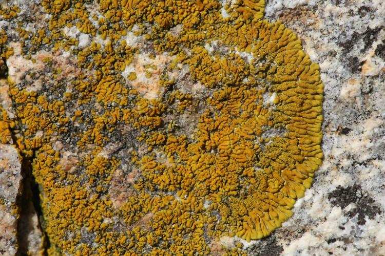Caloplaca verruculifera is ringed firedot lichen.