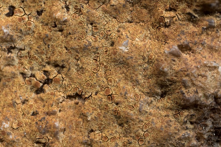 Ionaspis lacustris