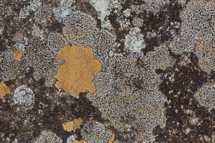 Ionaspis lacustris and Rhizocarpon lavatum