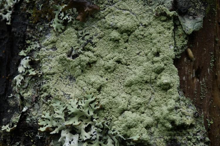 Loxospora elatina