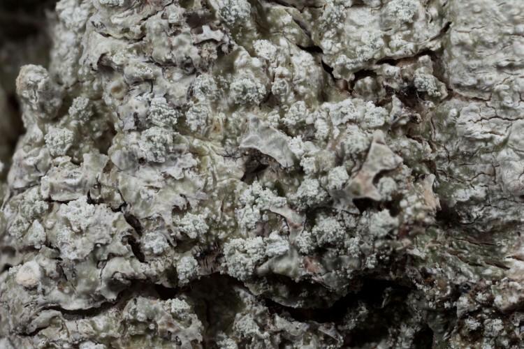 Pertussaria amarum close