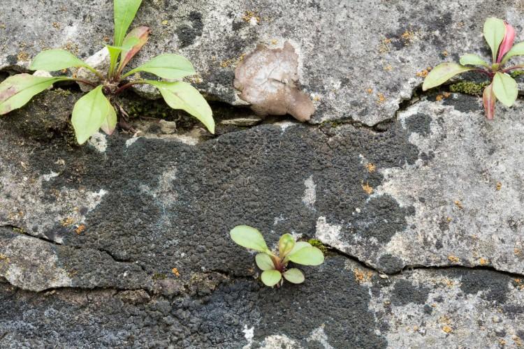 Placynthium nigrum substrate