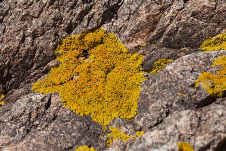 Xanthiria parietina on rock along the coast of Maine.