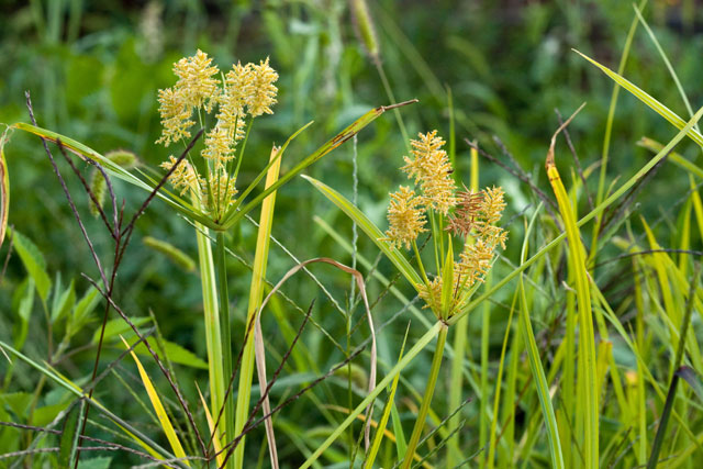 umbrella-sedge