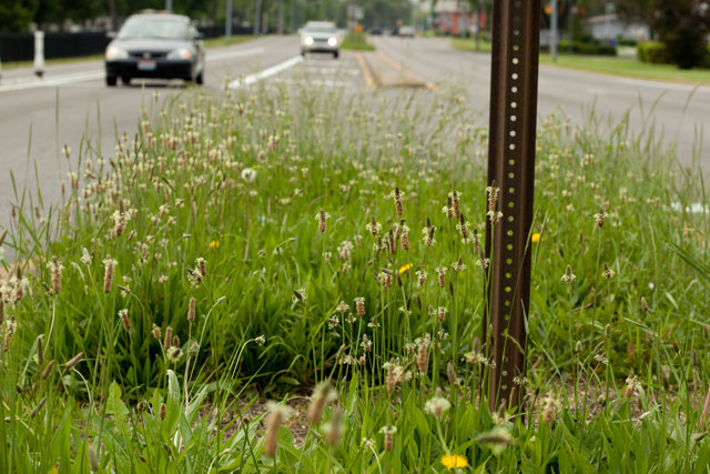 narrow-leaved plantain and cars
