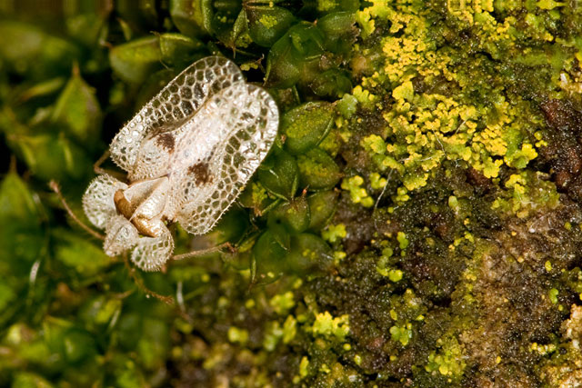Candelaria and lace bug