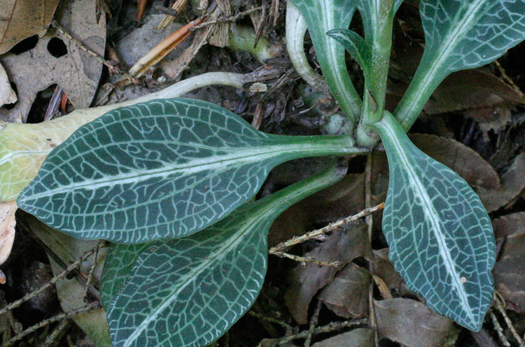rattlesnake-plantain leaves