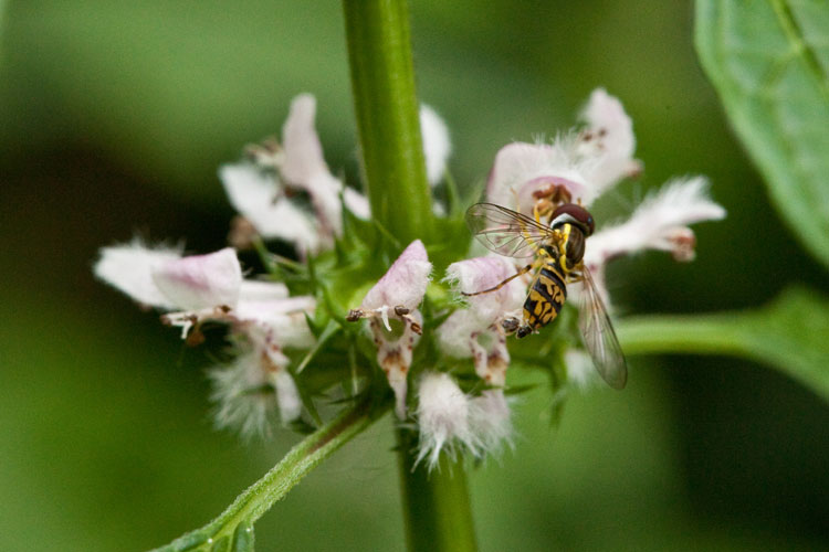 syrphid fly on motherwort