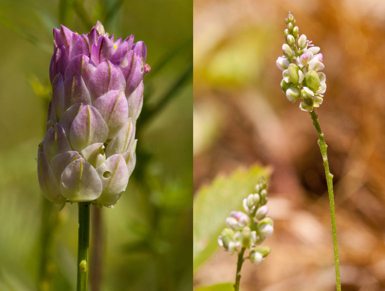 two milkwort species