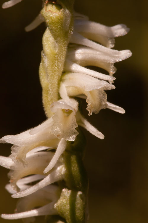 narrow-leaved ladies' tresses