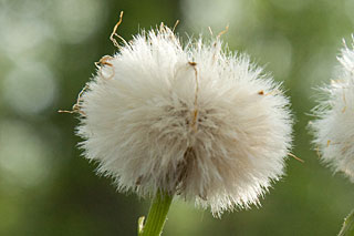 coltsfoot head of achenes