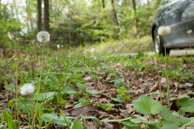 coltsfoot and dandelion