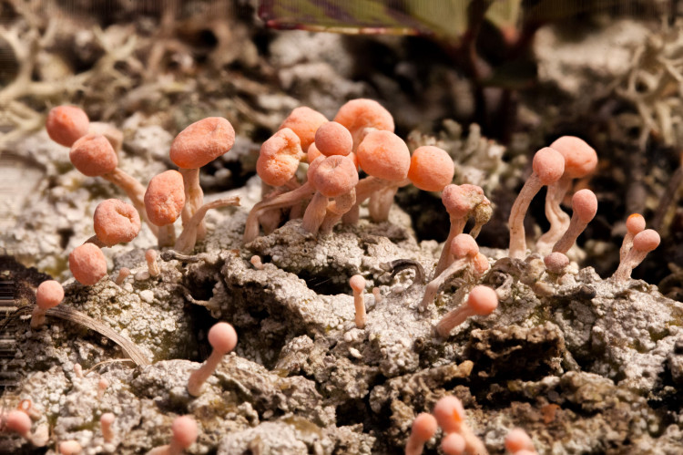 Dibaeis baeomyces has a crustose primary thallus, and Cladonia-like apothecial stalks.