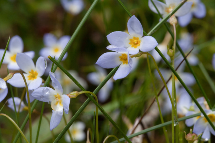 Bluets, Hedyotis caerulea, is flowering all over the place.