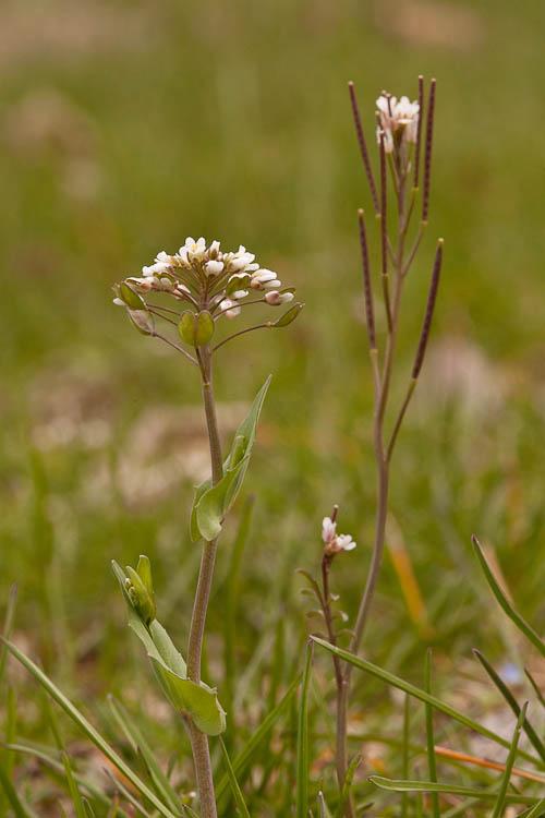 Thlaspi perfoliatum and Cardamine hirsuta