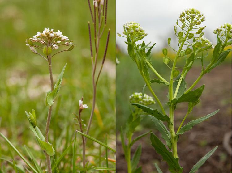 Thlaspi-perfoliatum and Thlaspi-arvense