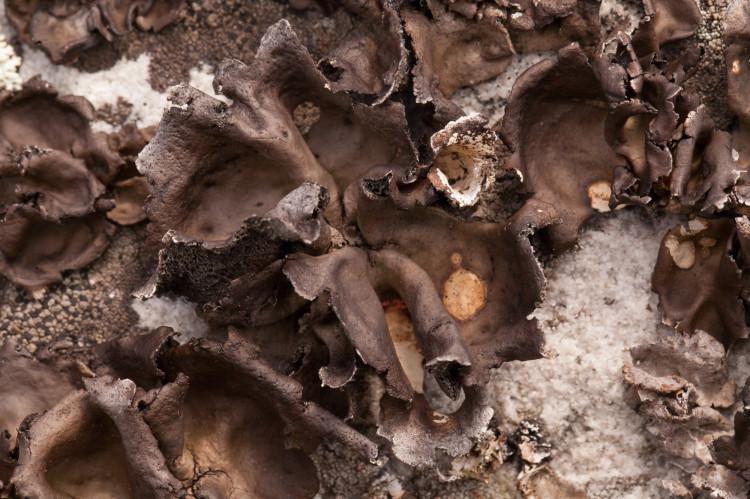 Umbillicaria muehlenbergii is a dark brown rock tripe.