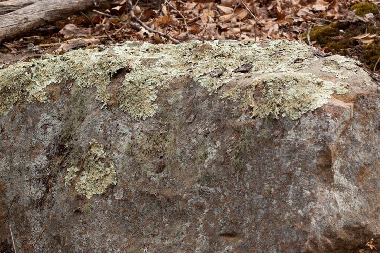 Usnea amblyoclada substrate