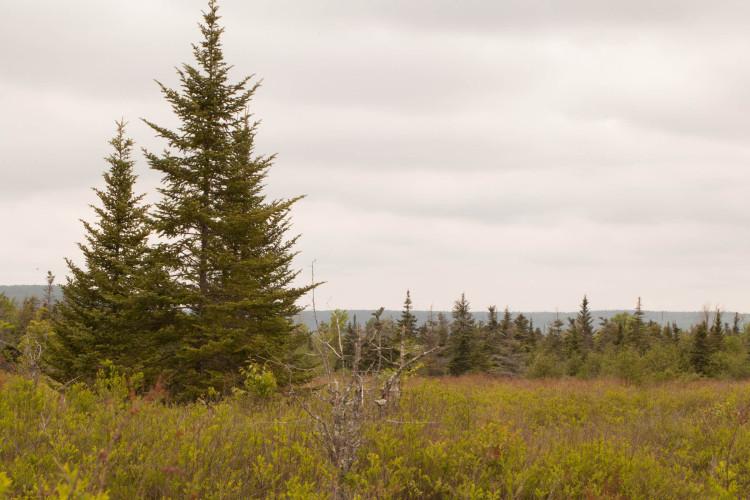 Balsam fir is a swamp tree here!
