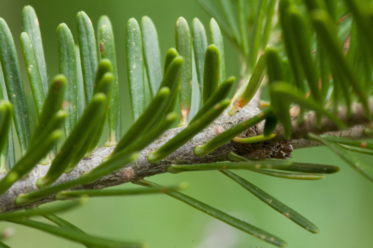 Ooooh. Balsam fir!