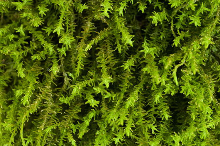 Anomodon tristis (happy moss) is very slender.