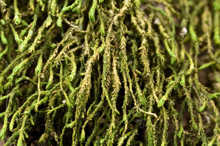 Threadbare moss (sad moss) is very slender.