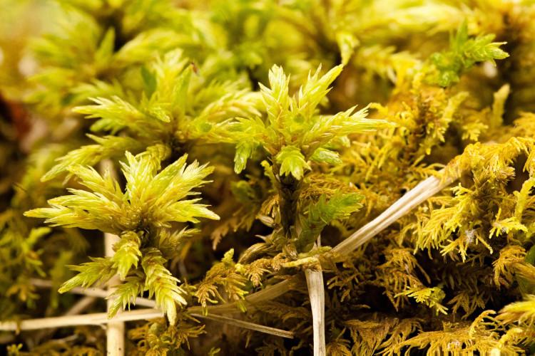 """Climacium americanum is """"tree moss."""""""