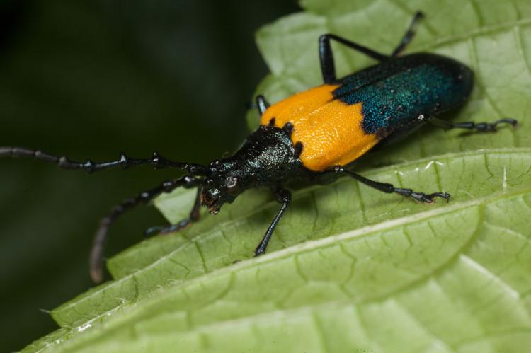Desmocerus palliatus is the elderberry borer.