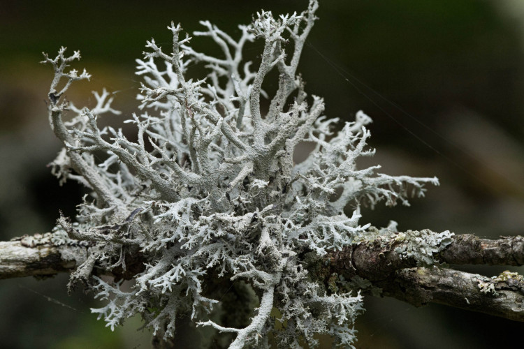 Pseudevernia consocians is a fruticose lichen.