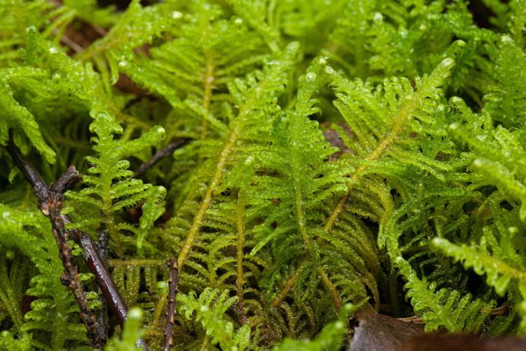 """Ptilium crista-castrensis is the """"plume moss."""""""