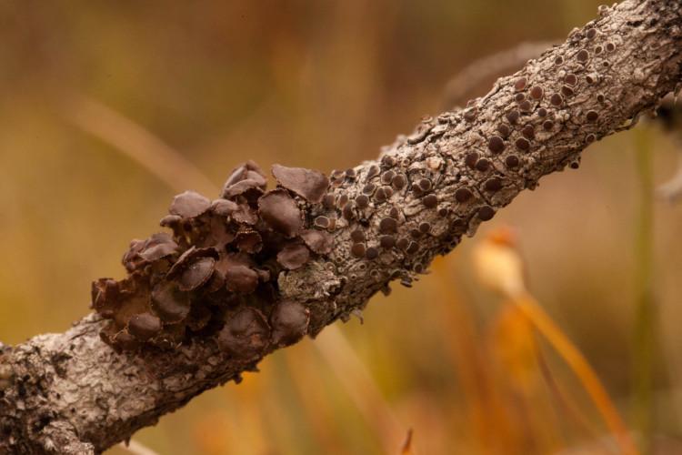 Chestnut wrinkle lichen is pure brown.