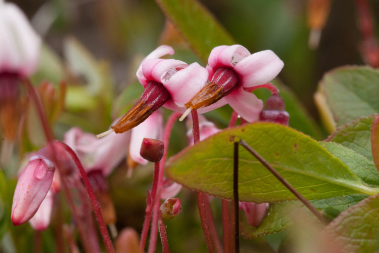 Small cranberry, Vaccinium oxycoccus, is a delicate wetland shrub, the flowers of which have 4 swept-back petals.