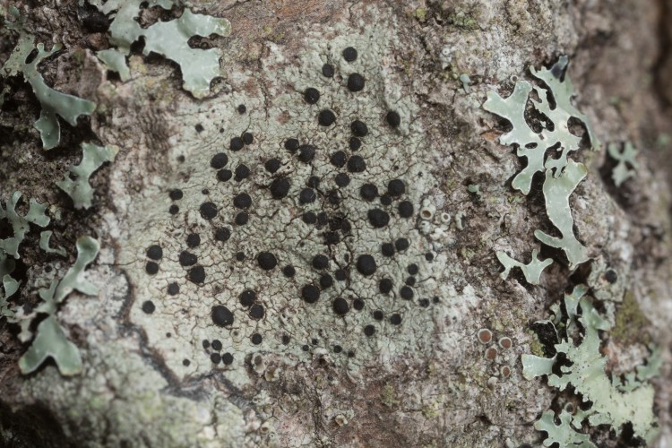 Buellia stillingiana is common button lichen.