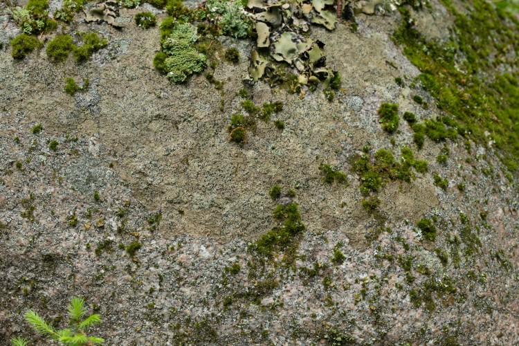 Fuscidea recensa substrate Black Mt ME