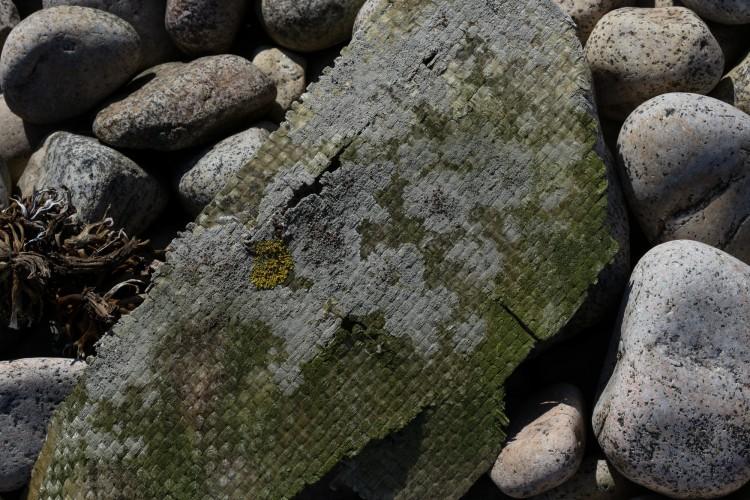 Flotsam with Lecanora xylophila.