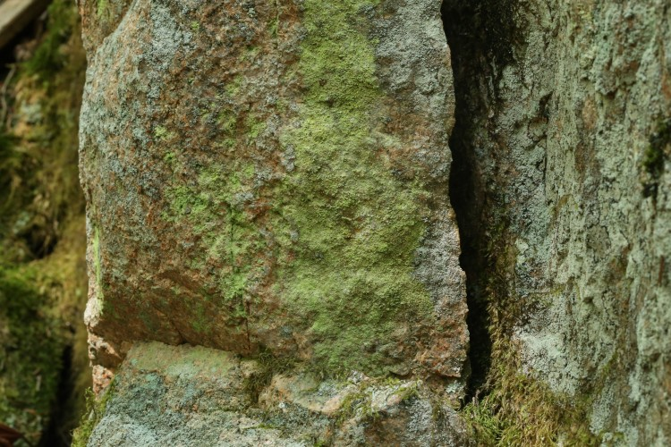 Psilolechia lucida substrate.