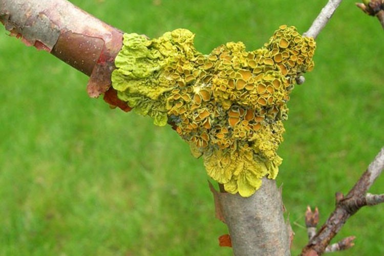Xanthoria parietina on tree