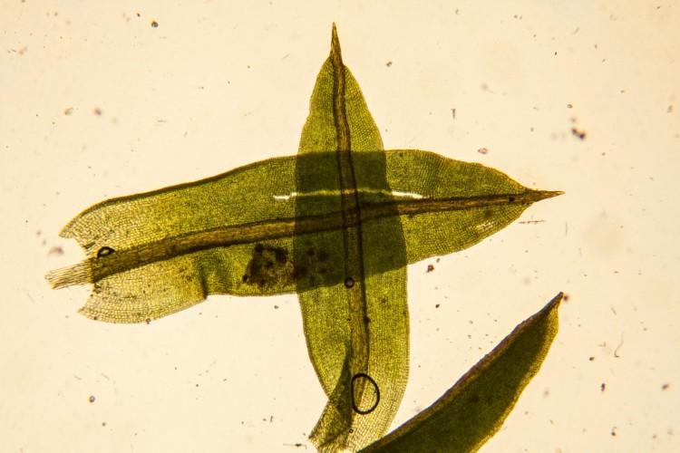 Barbula unguiculata leaves