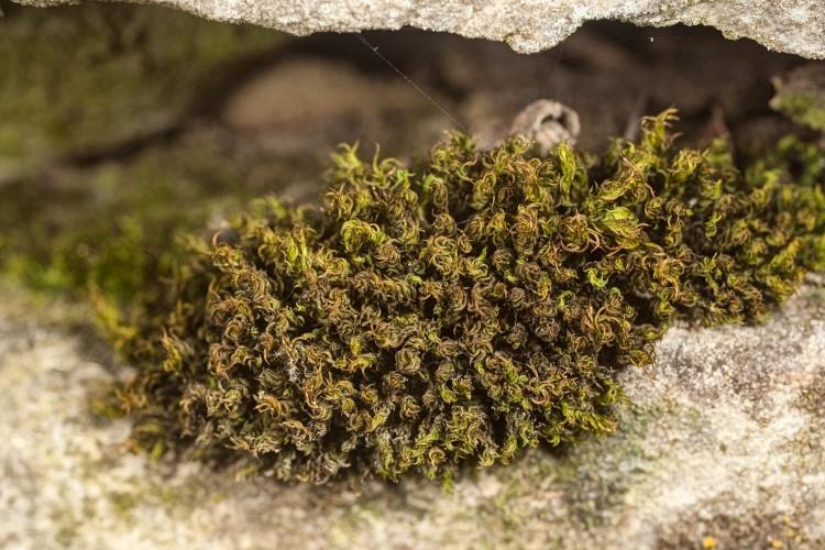 "Barbula unguiculata is ""bear claw moss."""