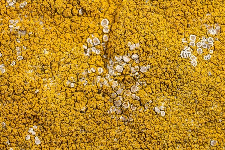 Caloplaca citrina is mealy firedot lichen.