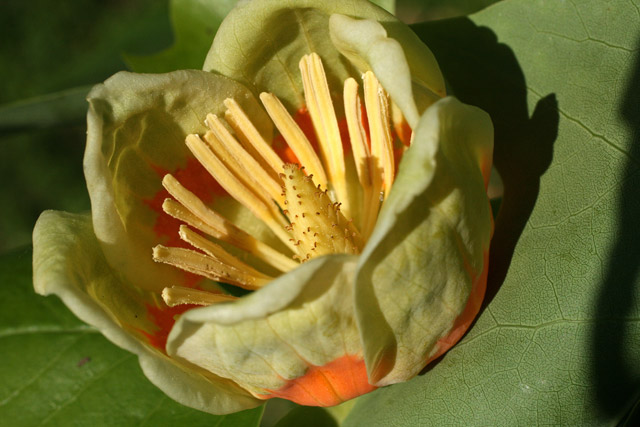 Liriodendron tulipifera flower