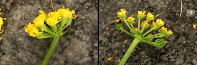 Zizia and Thaspium flowers