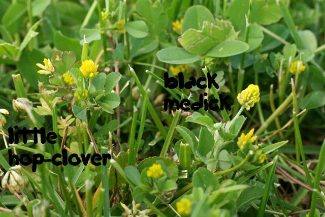 Trifolium dubium and Medicago lupulina